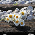 daisies on a train track
